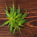 Cannabis buds on wooden table: CBDweb Friends of CBDweb Blog